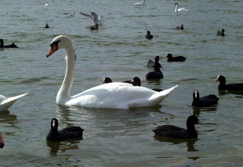 Фото лебедей на озере в Евпатории - фото