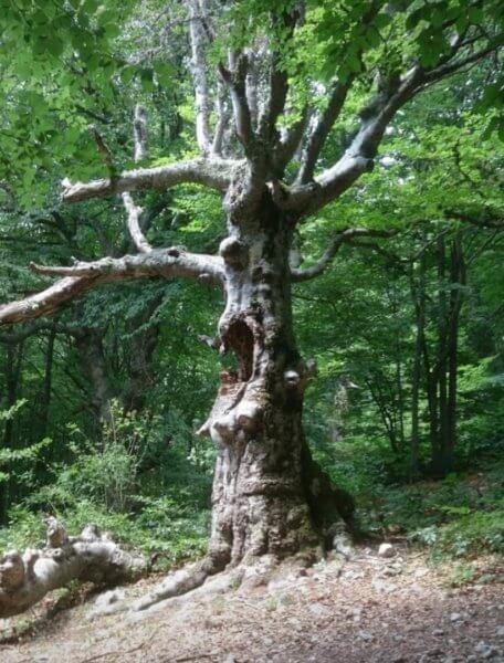 Дерево  по пути на гору Эклизи-Бурун