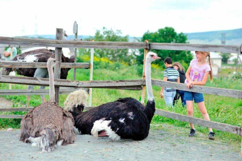 Экскурсия по страусиной ферме в Керчи