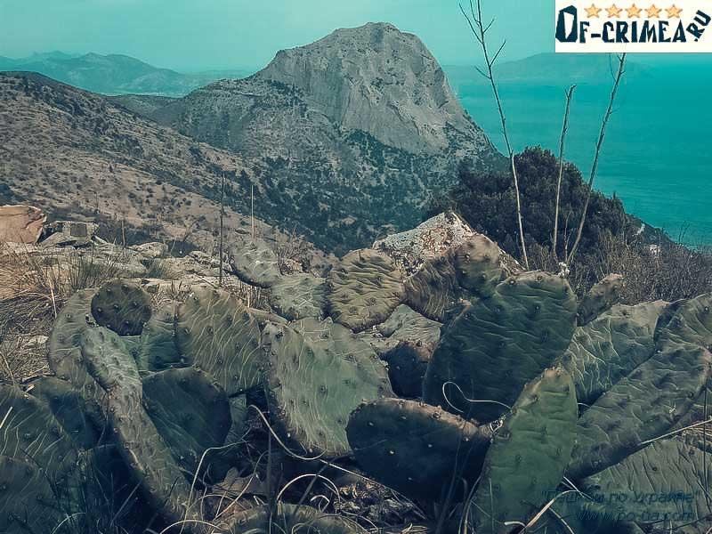 Кактус-опунций на Горе Сокол