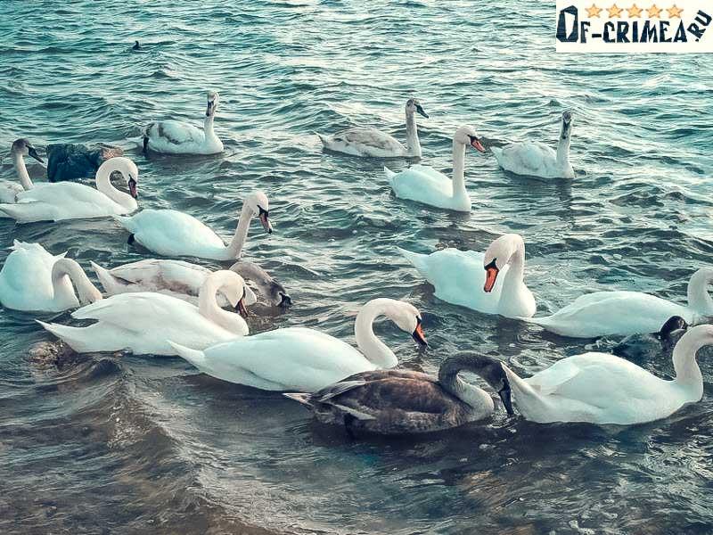Лебеди на озере Сасык-Сиваш